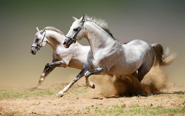 Twee witte paarden op volle snelheid