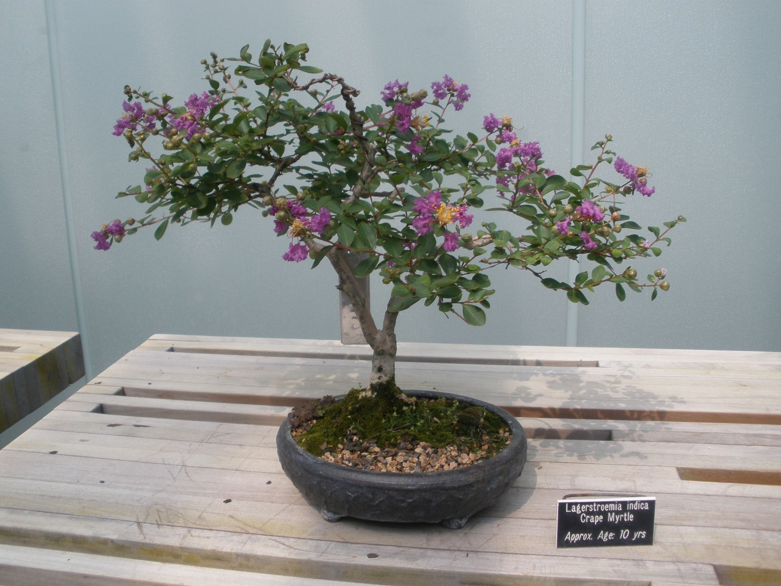 Bonsai Tree 24 Amazing Bonsai Tree Minneapolis Ideas