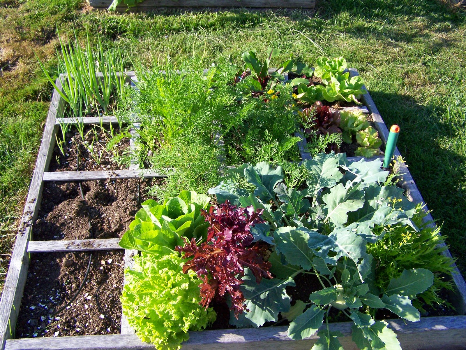 Square Foot Gardening Lettuces and Onions Copyright Adrienne Z. Milligan