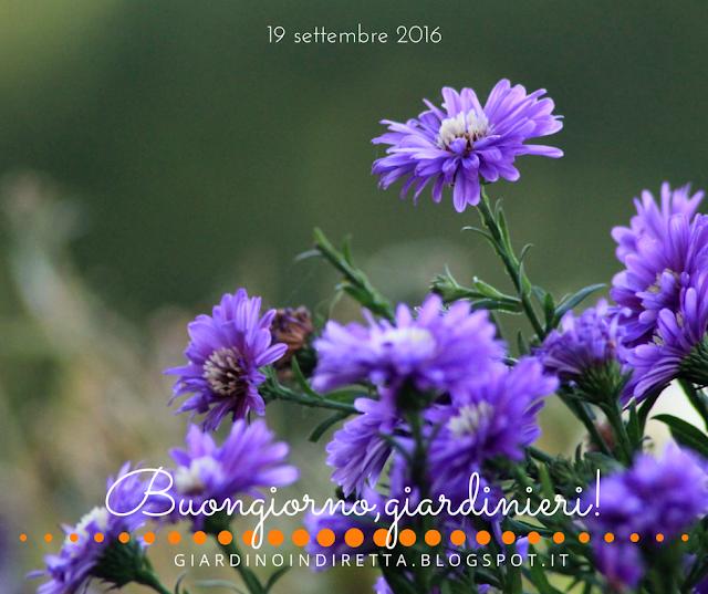 settembrini (aster novi-belgii) - l'agenda del giardino e del giardiniere - un giardino in diretta