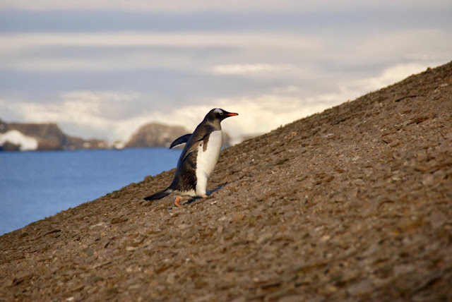 Antarctic penguin colony repeatedly decimated by volcanic eruptions