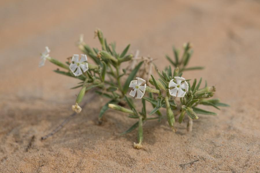 Desert Campion Silene villosa
