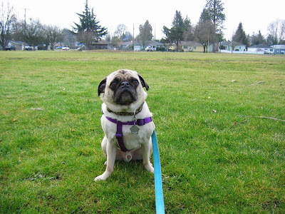 Liam the pug in the middle of a field