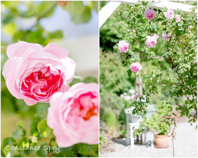 Impressionen aus dem Rosengarten, Pomponetti, Constance Spry