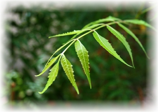 Neem tree: As the Magical Sleep Aid