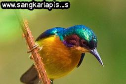 Tips Perawatan Kolibri Wulung Biar Cepat Gacor