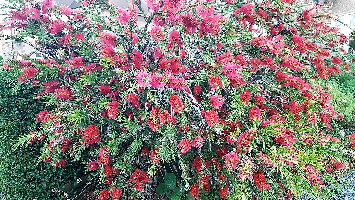 When And How To Prune Back Bottlebrush Plants The Garden