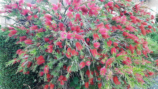 Mature Bottlebrush plant in full flower with red blooms