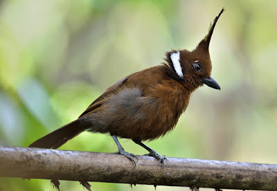 Gambar Burung Cililin