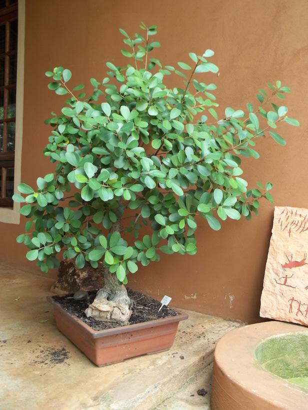 Unthinkable House Plant Tree. I ve done the unthinkable  Gardening in Africa