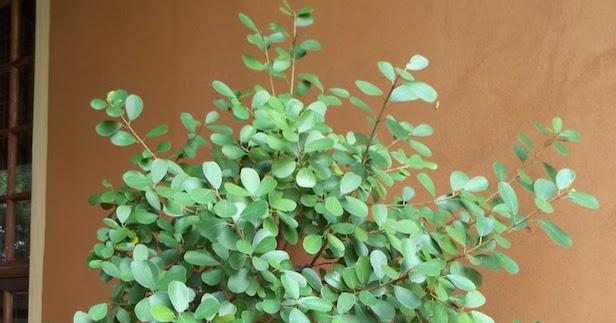 Unthinkable House Plant Tree.  Gardening in Africa I ve done the unthinkable