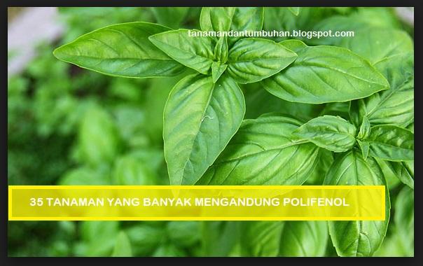Tanaman yang Banyak Mengandung Polifenol