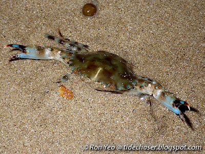 Banded-legged Swimming Crab (Charybdis annulata)
