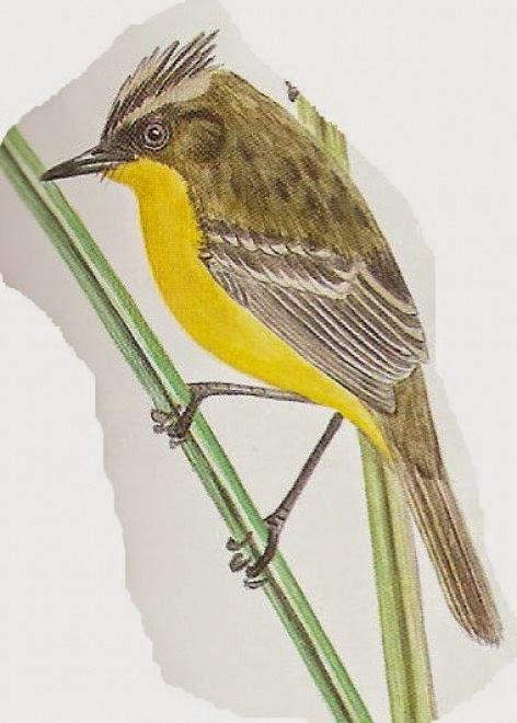 Doradito copetón, Pseudocolopteryx sclateri