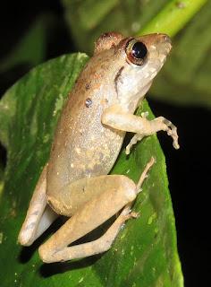 Craugastor fitzingeri, Fitzinger's Robber Frog