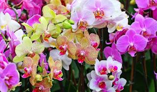 Cara Menanam dan Merawat Bunga Anggrek