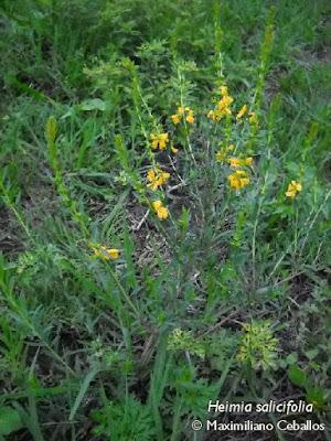 Quiebra arado (Heimia salicifolia)
