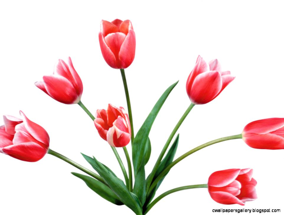 Tulips Clipart | Wallpapers Gallery Tulips Border Clipart