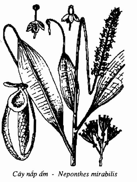 Hình vẽ CÂY NẮP ẤM - Nepenthes mirabilis - Nguyên liệu làm thuốc Chữa Ho Hen