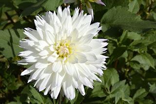 Bunga Dahlia putih