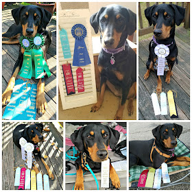 doberman rescue dog nosework scent work sports canine