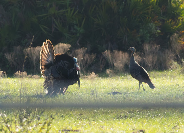Wild Turkeys - Florida
