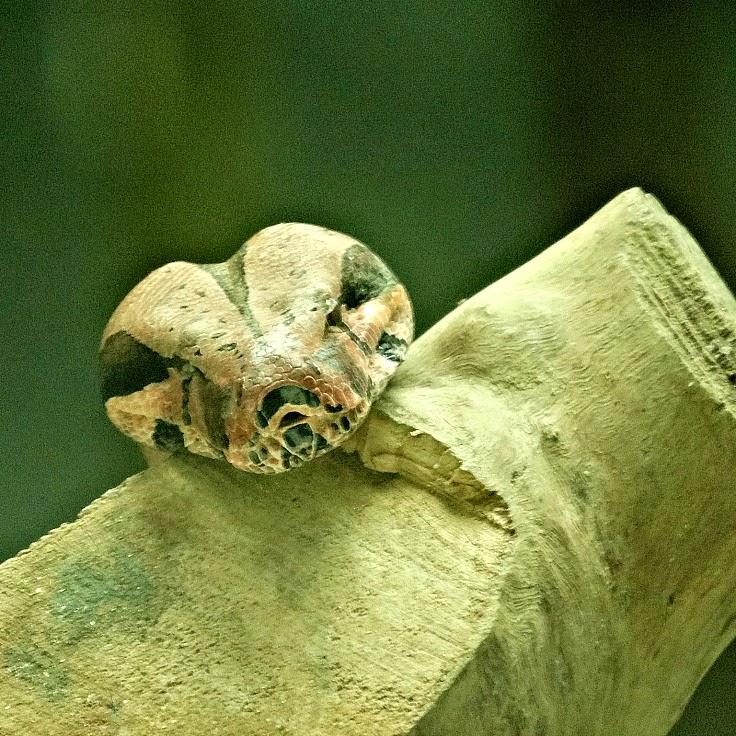 Cabeça da jiboia sobre um tronco
