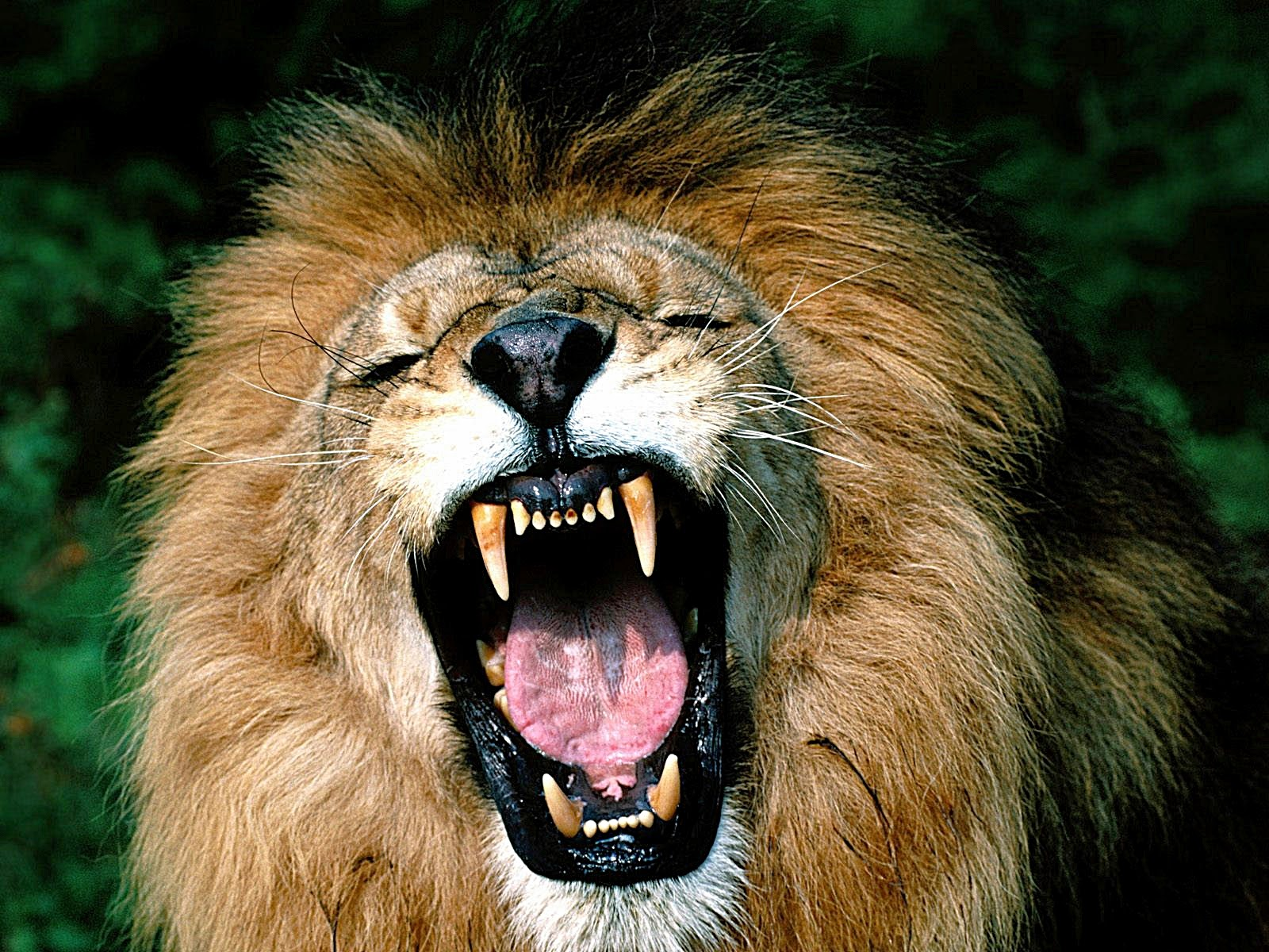 Singa  Nama Gambar Binatang AZ