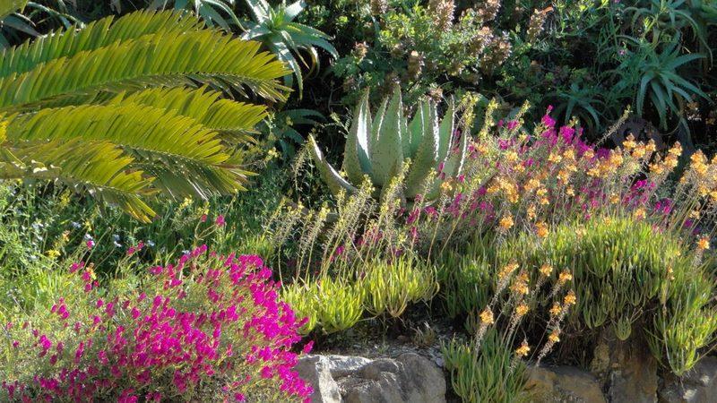 Parterre de flores. Jardin Sudafrica. Jardin plantas clima mediterráneo (Domaine du Rayol) diseño: Gilles Clement