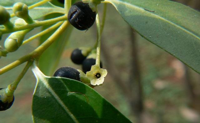 Fruto de Galán de día Cestrum diurnum
