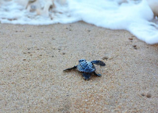 http://vnoticia.com.br/noticia/2302-soltura-de-tartarugas-em-atafona-vira-atracao-para-turistas-e-moradores-da-praia