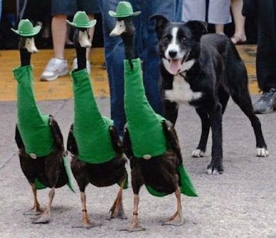 Fotos locas: patos elegantes muy apetecidos  - San Patricio