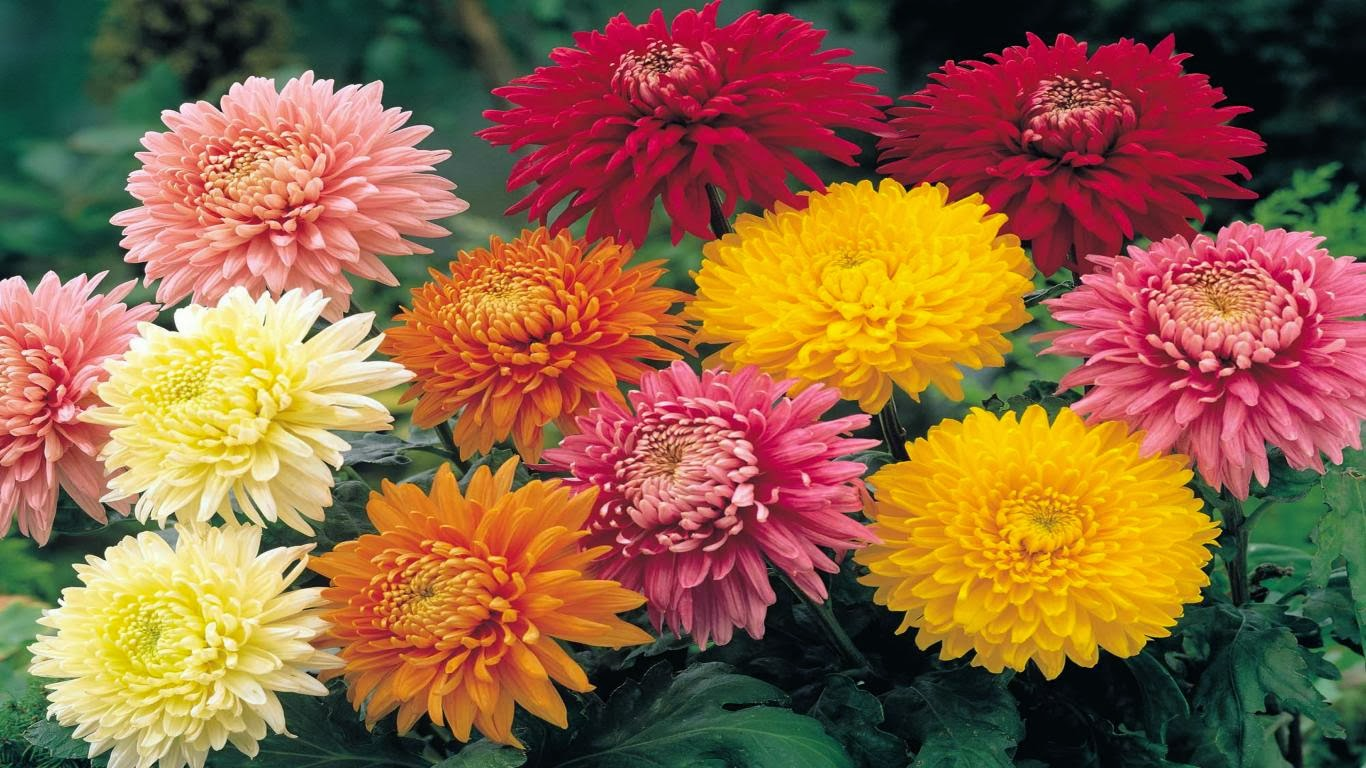 Home Exterior Colors Romantic Flowers Chrysanthemum Flowers