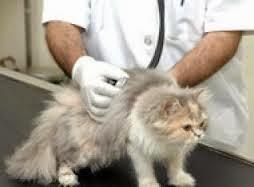 تعرف على كيفيه حلاقه شعر القطه بالصور والفديو