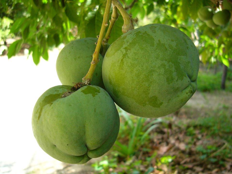 Similiar Suncuya Fruta De Honduras Keywords