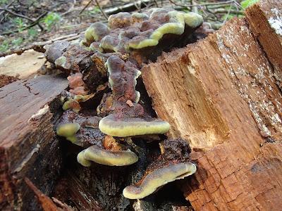 murszak rdzawy - Phaeolus schweinitzii