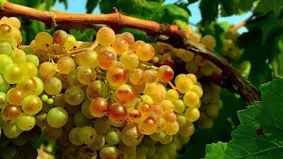 wallpaper buah anggur