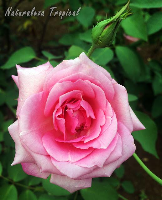 Flor típica de las rosas más comunes