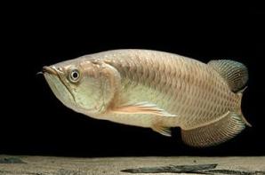 Jenis Ikan Ikan Arwana Jardini