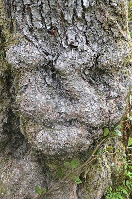 Norvège Sognefjord :  Troll caché dans cet arbre de la forêt de Balestrand