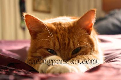 Cara Mengatasi Daun Telinga Kucing Yang Bengkak