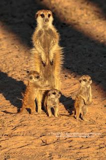 Meerkat and pups
