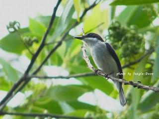 Black-winged Flycatcher-shrike     ハグロヒタキサンショウクイ