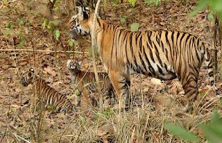 save-tiger