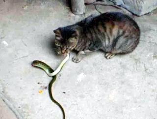 Kucing membunuh ular dalam mimpi