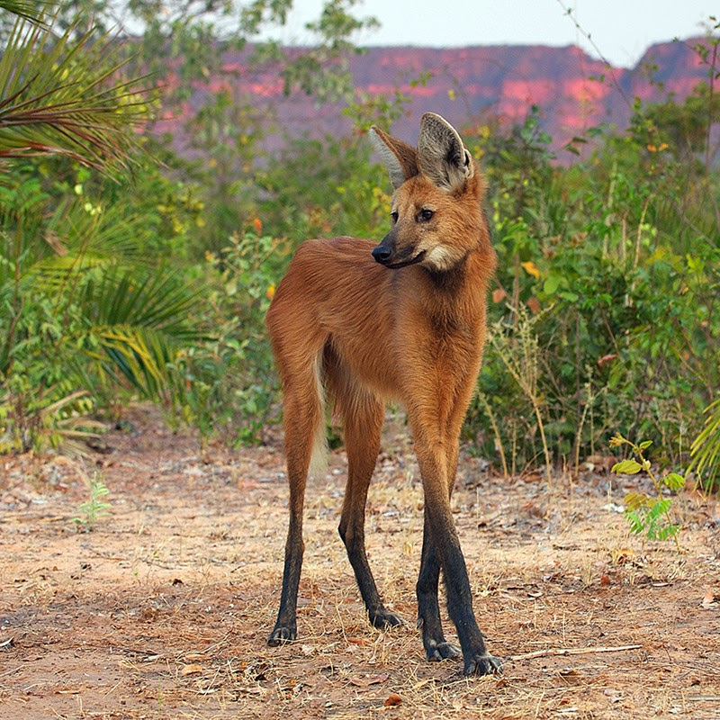 Animals You May Not Have Known Existed - The Maned Wolf