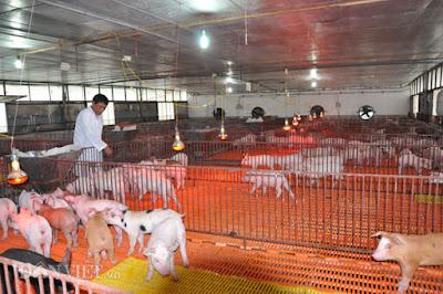 Ông Nguyễn Trọng Long kiểm tra sức khỏe đàn heo giống tại trang trại của gia đình ở huyện Thanh Oai (Hà Nội).