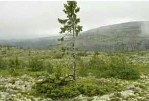 old Tjikko pohon tertua di dunia
