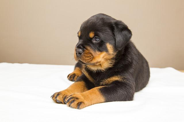 7 Tips dan Cara Melatih Rottweiler Dengan Baik Dan Benar