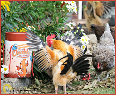 Chubby Mealworms Giveaway at www.The-Chicken-Chick.com
